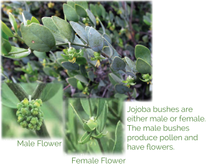 Organic Jojoba Seed Oil ingredient in baby skincare for dry sore skin