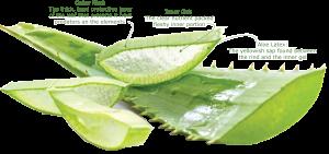 Aloe Vera Leaf Juice organic ingredient used in children's skincare